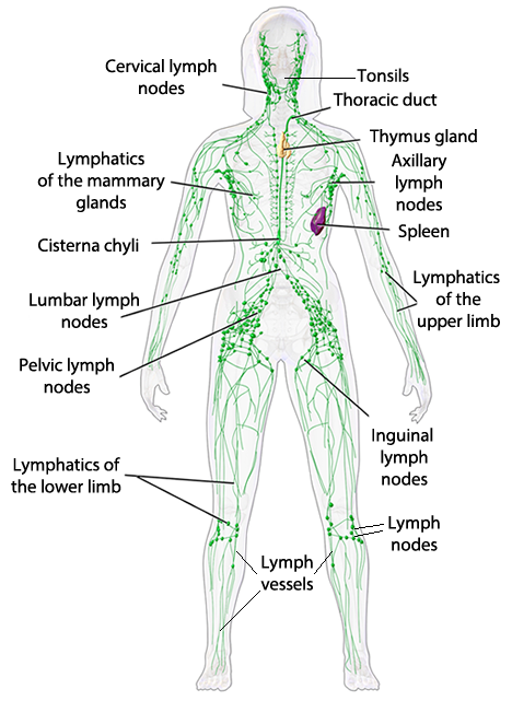 The Low Down on Lymph Drainage Including General vs. Local Treatment ...